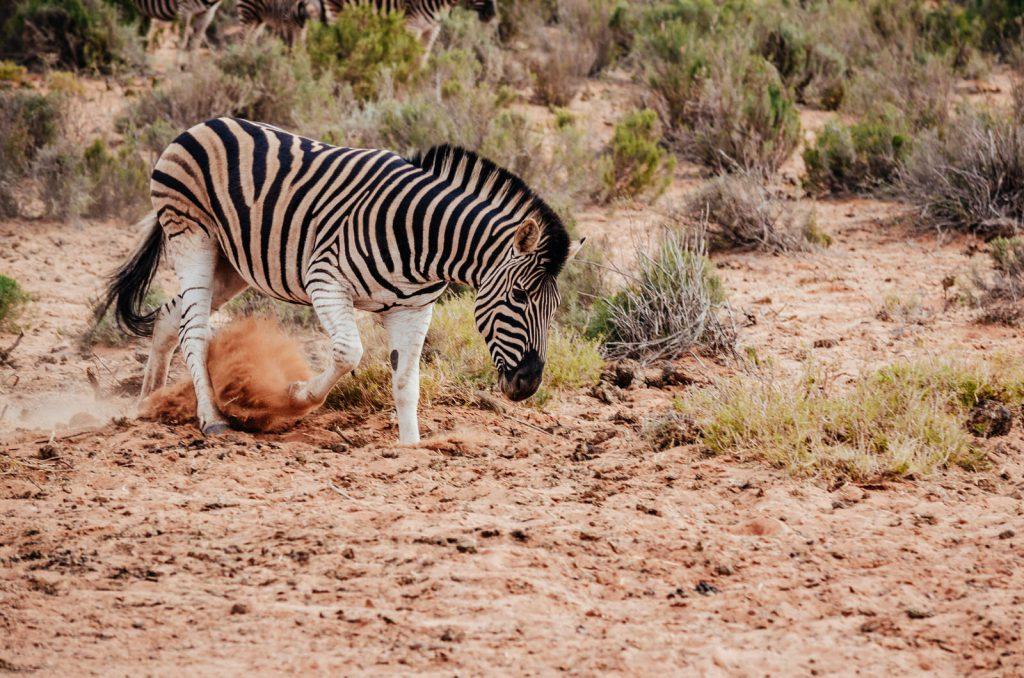 Sudafrica Natura Kiwi The Explorer 26